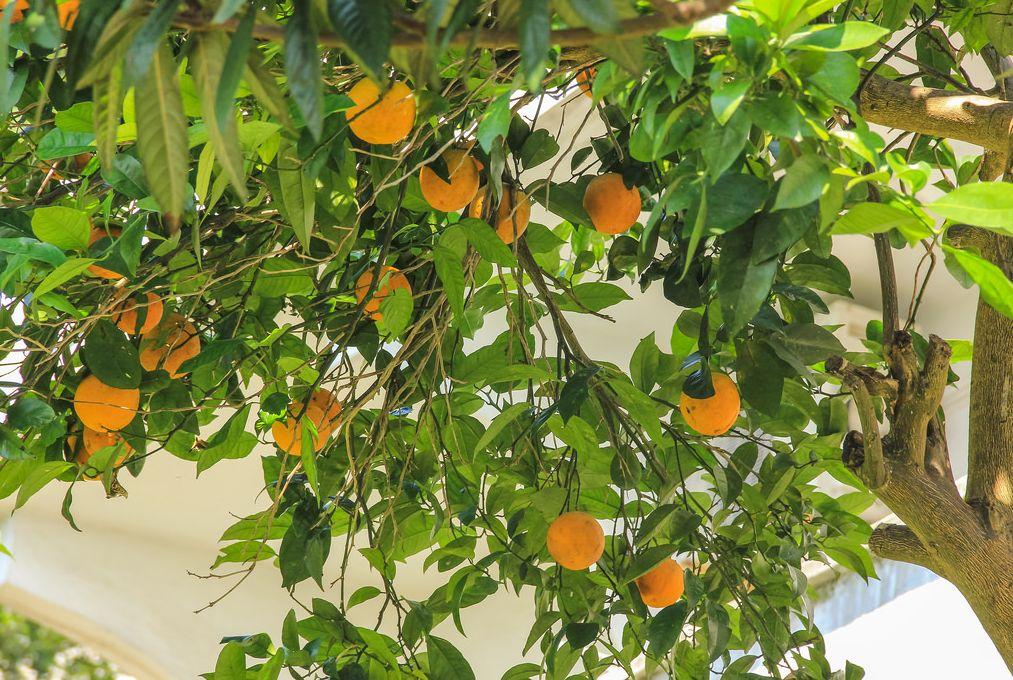 Спелые апельсины в Сарпи у Гульнази